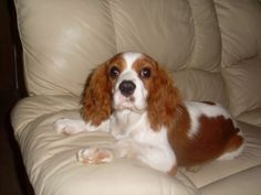 As numerous as half of all Cavalier King Charles Spaniels might have a congenital blood disorder called idiopathic asymptomatic thrombocytopenia, an abnormally low number of platelets within the blood, based on recent research in Denmark and the United states.