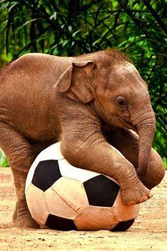 Awwww Baby Elephant Plays with Ball...