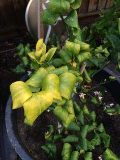 Potassium Deficiency Citrus - http://www.gardenanswers.com/plant-diseases/potassium-deficiency-citrus/