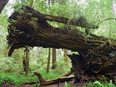 Two fallen trees, beside the James Irvine Trail, Prairie Creek Redwoods State Park