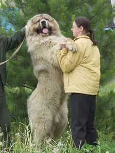 Caucasian shepherd dog - owners must always be hypervigilent with this breed!