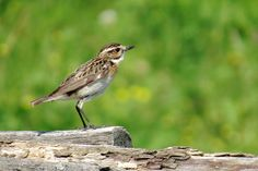 Whinchat by Ralf Muhl on 500px