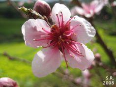 Flor-de-pessegueiro Hina Matsuri, Peach Blossoms, Flower Wallpaper, Flowers, Nature Photography, Plants, Royal Icing Flowers, Flower, Peach Flowers