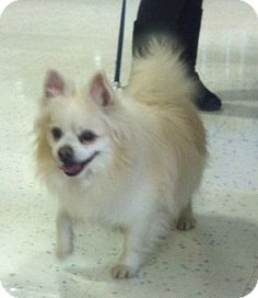 Bridgewater, NJ - American Eskimo Dog/Pomeranian Mix. Meet Angel, a dog for adoption. http://www.adoptapet.com/pet/12517201-bridgewater-new-jersey-american-eskimo-dog-mix