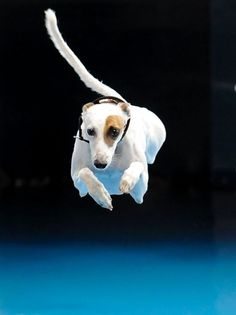 Whippet vies to be top dog diver Cochiti, a six-year-old Whippet, competes in the diving competition during a Purina dog challenge in Del Mar, California, on June 9, 2012.