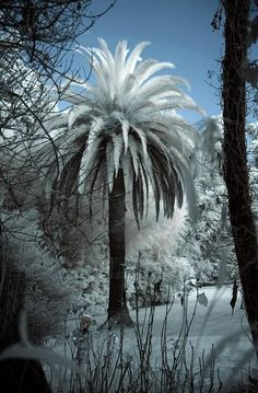 Snow On A Palm Tree Amazingly Beautiful.