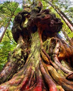 Canada's Gnarliest tree in Avatar Grove (Vancouver Island, BC) Meanwhile In Canada, O Canada, Vancouver Island, Countries Of The World, Time Travel, Geography, Landscape Photography, Avatar, Explore
