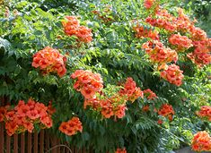 Campsis x tabliabuana Madame Galen Orange Flower Names, Orange Flowers, Balcony Garden, Garden Plants, Garden Web, Types Of Oranges, David Austin Rosen, Campsis, Clematis Flower