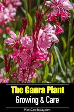 Growing gaura plants is easy. Just provide its basic needs and prevent root rot. More tips for care of the gaura plant and its uses. [LEARN MORE] Growing Flowers, Planting Flowers, Flower Gardening, Potted Flowers, Flowers Perennials, Wild Flowers, Colorado Springs, Gaura Plant, Flower Landscape