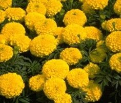 Pase Seeds - Marigold Seeds - African Lady Gold Annual Seed, $3.99 (http://www.paseseeds.com/marigold-seeds-african-lady-gold-annual-seed/)