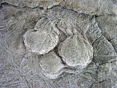 Uintacrinus socialis fossil crinoids in chalk (Niobrara Formation, Upper Cretaceous; western Kansas, USA) 3 | by jsj1771