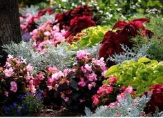 Visual Texture in the Garden Red-leafed begonias, coleus to pick up the colour, mixed with silver (annual dusty miller would work) and lime green