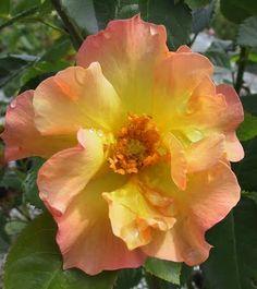 The Garden Report Sunday, May 2011 Morden Belle Rose Vegetable Garden, Garden Plants, Shrub Roses, Fruit Plants, Shrubs, Perennials, Nursery, Sunrise, Suzy