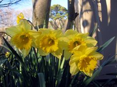5 tips for cut daffodil flower arrangements