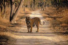 Royal Bengal Tiger Tour