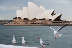Seagulls in front of the Sydney Opera House