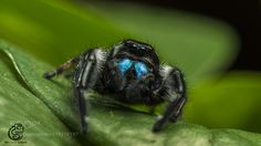 Phidippus Regius by Gianmarco Spagnoli on Jumping Spider, Neko, Insects, Cute Animals, Spiders, Bugs, Collections, Poses, Amazing