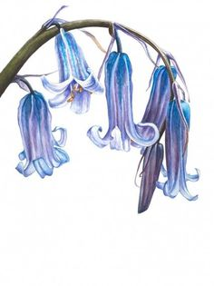 botanical paintings blue bells - Anna Mason botanical art