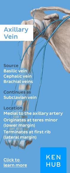 The axillary vein ultimately returns blood from the upper limb through the superficial and deep veins of the arm. Click to learn more #veinfacts #anatomy