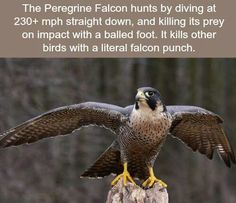 WTF Facts : funny, interesting & weird facts — The Peregrine Falcon - WTF fun facts Wtf Fun Facts, Funny Facts, Funny Memes, Random Facts, Random Stuff, Funny Animals, Cute Animals, Peregrine Falcon, Animal Facts