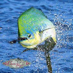 Catch of the day at Casa Vieja Lodge Guatemala, fising, mahi mahi, vacation spot Trout Fishing Tips, Fishing 101, Deep Sea Fishing, Sport Fishing, Fly Fishing, Fishing Boats, One Fish Two Fish, Big Fish, Salt Water Fish