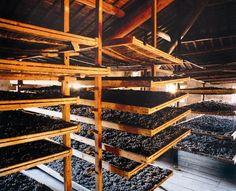 Appassimento (drying grapes) process for Amarone della Valpolicella wine