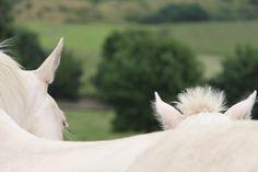 Akhal-Téké La mère et l'enfant cheval