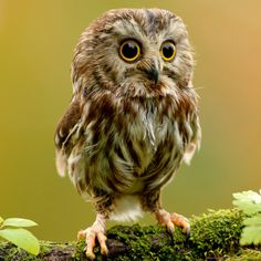 The Northern Saw-whet Owl is a small owl native to North America. Description from board.whatisfatmagulsfault.com. I searched for this on bing.com/images