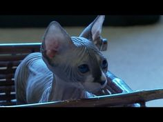 Sphynx Kittens Can't Use A Sled, Not Huskies
