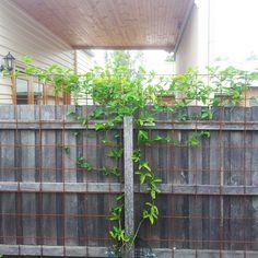 passionfruit vine vertical garden - Google Search