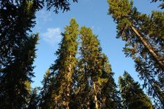 With their ever-falling needles and dense shade cover, pine trees present a challenge when you attempt to plant other vegetation beneath them. Most plants are smothered or...
