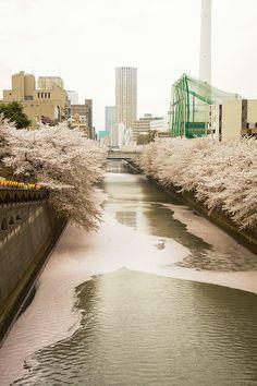 Cherry petals river, Tokyo, Japan