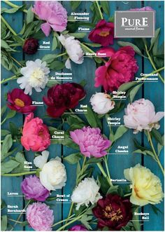 #peony guide handig overzicht met verkrijgbare pioenen van PurE seasonal flowers.