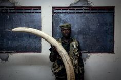 MARTIN MIDDLEBROOK / STOP IVORY A ranger, who is six-feet tall, holds a poached tusk holds the tusk from a Tusker Elephant.