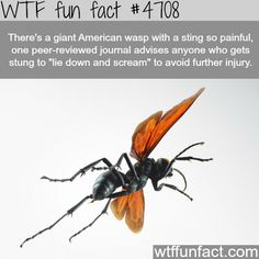 Giant American wasp - WTF fun facts