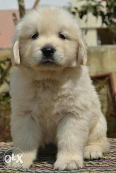 Golden Retriever puppy- OMG! I want one of these so bad!!! by isabelle #Cutepuppies