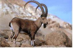 Siberian ibex (Capra sibirica sibirica)