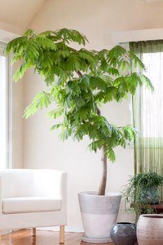 あのおしゃれな観葉植物の名前は?インテリア・観葉植物【画像】【育て ... エバーフレッシュ
