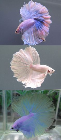 fish with wedding dress, these fish could be table toppers.