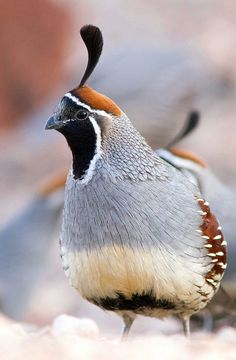 Quail - State Bird of California (also featured on the New Mexico wildlife license plate because they're extremely prolific throughout the southwest)