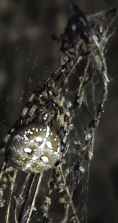 Araneus is a genus of common orb-weaving spiders. It includes about 650 species, among which are the European garden spider and the barn spider. #photography
