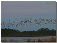 https://flic.kr/p/PrUvj5 | Snow goose | THE bird-song is the echo of the morning light back from the earth. A madárdal a hajnali világosság visszhangja a földről.  Stray Birds  By Rabindranath Tagore