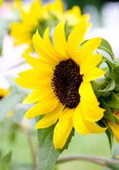 Let's Get This Party Started - Sunflowers!