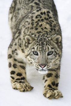 beautiful-wildlife: Intense Snow Leopard by Paul Burwell