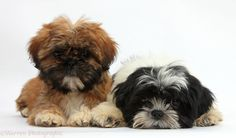 black shih tzu puppies - They look like ragamuffins lol