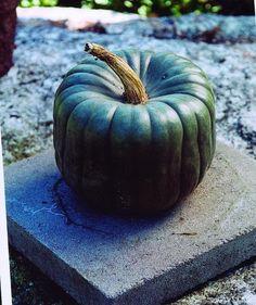 QUEENSLAND BLUE WINTER SQUASH  (HEIRLOOM, 105 DAYS) - Pinetree Garden Seeds…