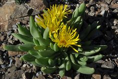Glottiphyllum nelii - plump leaves and happy yellow flowers. The Ruth Bancroft Garden / Walnut Creek, CA