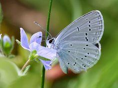 Short - Tailed Blue-Brasov, Transilvania, Romania