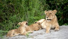 Lions near Little Mombo Camp which is located in the Okavango Delta area of northern Botswana. africatravelresource.com