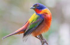 Painted Bunting - Texas State Park Photo By Dan Pancamo I Like Birds, Kinds Of Birds, Pretty Birds, Small Birds, Colorful Birds, Beautiful Birds, Animals Beautiful, Beautiful Things, Painted Bunting
